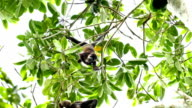 Howler monkey (Alouatta) feeding and scratching while hanging upside down video