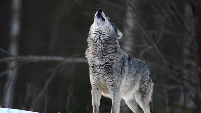 Howling Wolf video