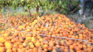 A huge amount of rotting tangerine lying under the trees video