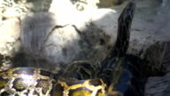 Huge boa constrictor (python) smells the air video