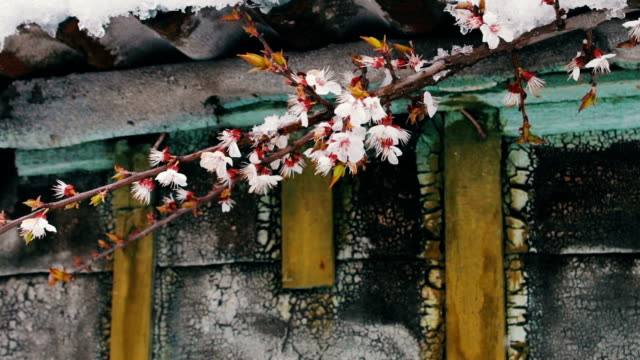 A huge cap of snow on the roof of a vintage house in the wind stir Spring flowering branches of apple trees. video