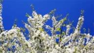 Huge cherry bush tree branches swaying in strong wind on a sunny weather day with perfect blue sky background and bees flying around and collecting pollen video