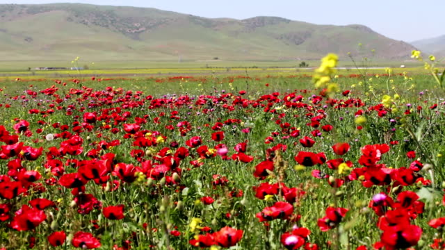 Huge field of blossoming poppies against the background of mountains in Dagestan video