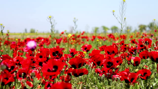 Huge field of blossoming poppies in Dagestan video