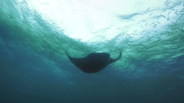 Huge Manta ray swims overhead, Palau video