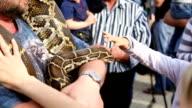 Huge snake Python at the hands of man video
