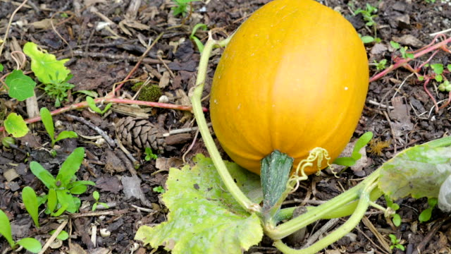 A huge yellow fruit of the vegetable in the garden video