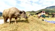 hulling, threshing of rice in rural Vietnam. video