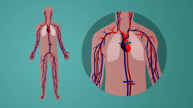 Human cardiovascular circulatory system: green background video