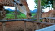 Human feed to giraffe video