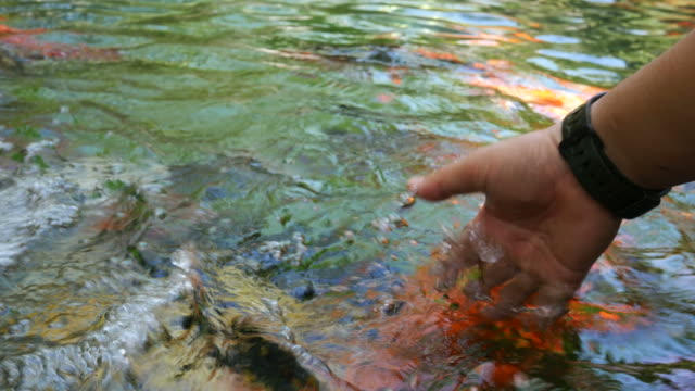 human hand play with carp fish video
