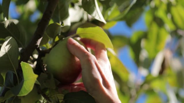 Human Hands Gathering Fresh Apples from the Apple Tree video