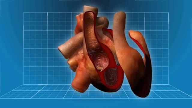 Human Heart beating - cutaway animation video