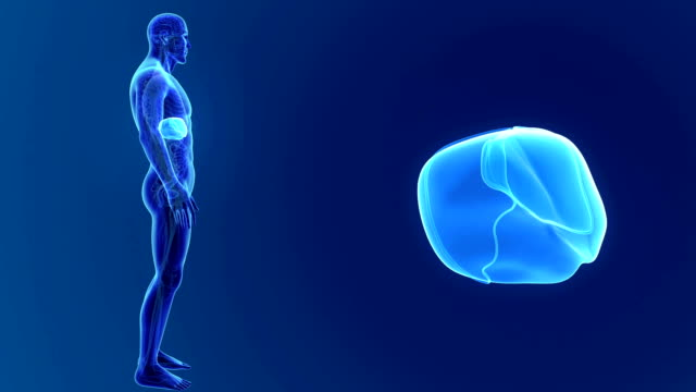 Human Liver with organs and circulatory system video