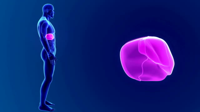 Human Liver with organs video
