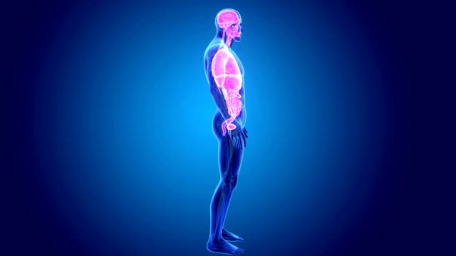 Human Organs video
