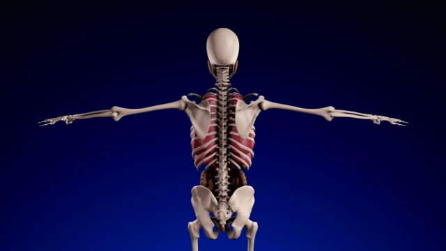 Human Skeleton - Loopable (alpha channel) - 4K video