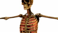 human skeleton with detailed anatomy organs video