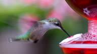 humming bird at feeder video