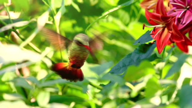 Humming bird video