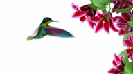 Humming bird video