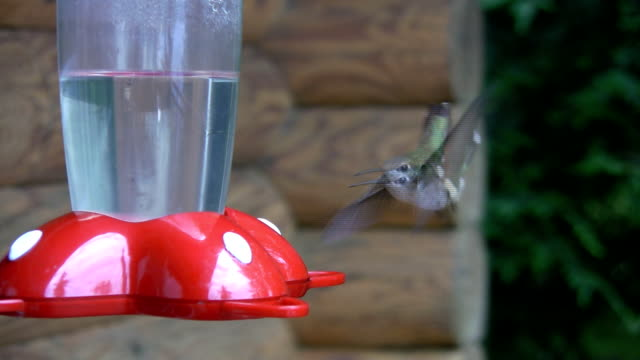Hummingbird. Competition. video