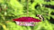 Hummingbird drinks from a red feeder video