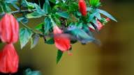 Hummingbird feeding at red flowers, peru video