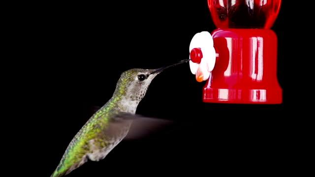 Hummingbird Feeding in Slow Motion video