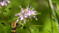 Hummingbird Hawk Moth Hovering and Feeding on Purple Flower in Slow Motion 2 video