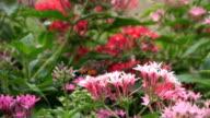 hummingbird hawk-moth feeding on a pink flower. video
