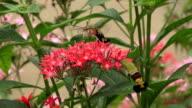 hummingbird hawk-moth feeding on a red flower. video