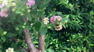 Hummingbird Hawk-Moth Feeding on Lantana flowers video