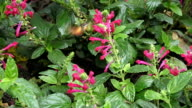 hummingbird hawk-moth video