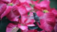 hummingbird in Christmas poinsettias video