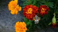 Hummingbird Moth video