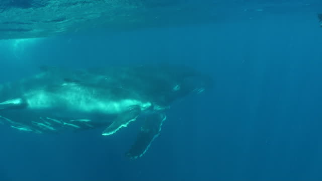 Humpback whale mother and calf with snorkeler video
