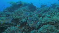 Humpnose big-eye bream swimming in coral, Indonesia video