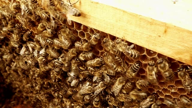 Hundreds Bees Creep on Frame For Honeycombs Close up video
