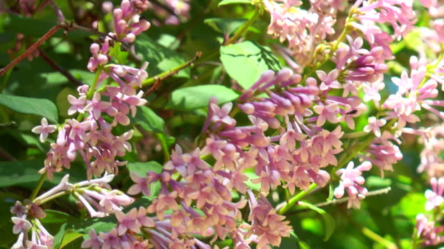 Hungarian lilac flowers on a branch video