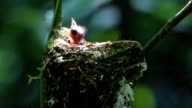 hungry baby Asian paradise flycatcher birds in nest video