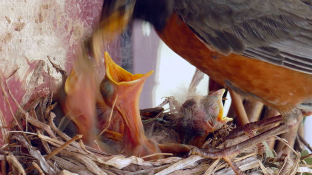 Hungry Baby Robins In Nest Being Fed By Mom, Dad video