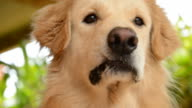 Hungry Golden Retriever Dog Want to Eat Food video
