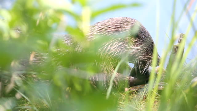 Hungry Otter video