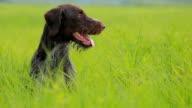 Hunting dog drathaar kurtshaar video