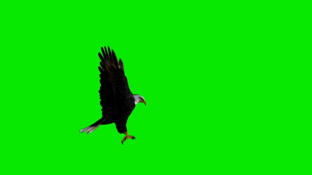 Hunting Eagle Green Screen (Loopable) video