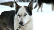 Husky dogs awaiting the race video