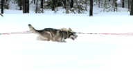 Husky dogs video