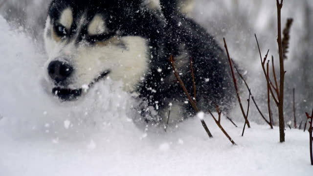 Husky in winter forest. slow motion video