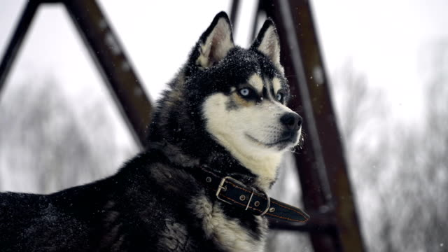 Husky playing in the snow video